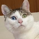 白猫オッドアイショップ ( oguyu )