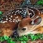 鹿 ( odniiko )