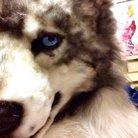 山田くん(狼)の中身るちこさん ( wolf_rutiko )