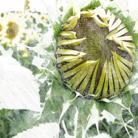 ひまわり組。 ( class_sunflower )