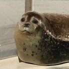 Spotted Seal ( AZRS__ )