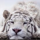 SLEEPING★TIGER'S YARD ( sleeping_tiger )