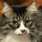 愛猫はタマ(6.2キロ)@クソリプおばさん ( shamMADCAT )