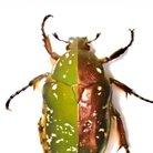 カナムグリ Protaetiar ( Protaetia_lenzi )