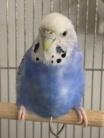 インコ・鳥 ( pair_barand )