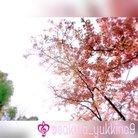 桜吹雪❀ ( sakura_yukkina9 )