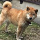 柴犬 ( mehhrmt )