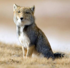 チベットスナギツネ ( Tibetan_fox )